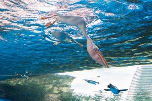 モモイロペリカン - サンシャイン水族館